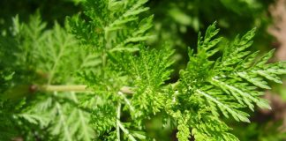 Benefits of Sweet Wormwood for Breast Cancer